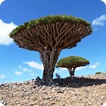 Dixam plateu – Dragon's blood tree – Socotra