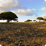 Dixam plateu – Dragon tree – Socotra